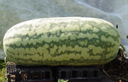 Carolina Cross Variety Watermelon